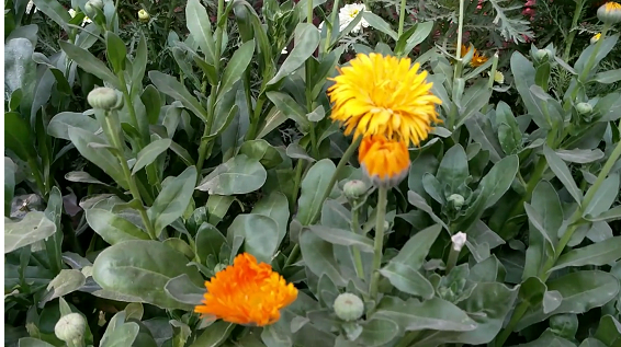 how to collect Calendula seeds