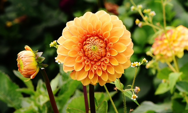 How to collect Dahlia Seeds