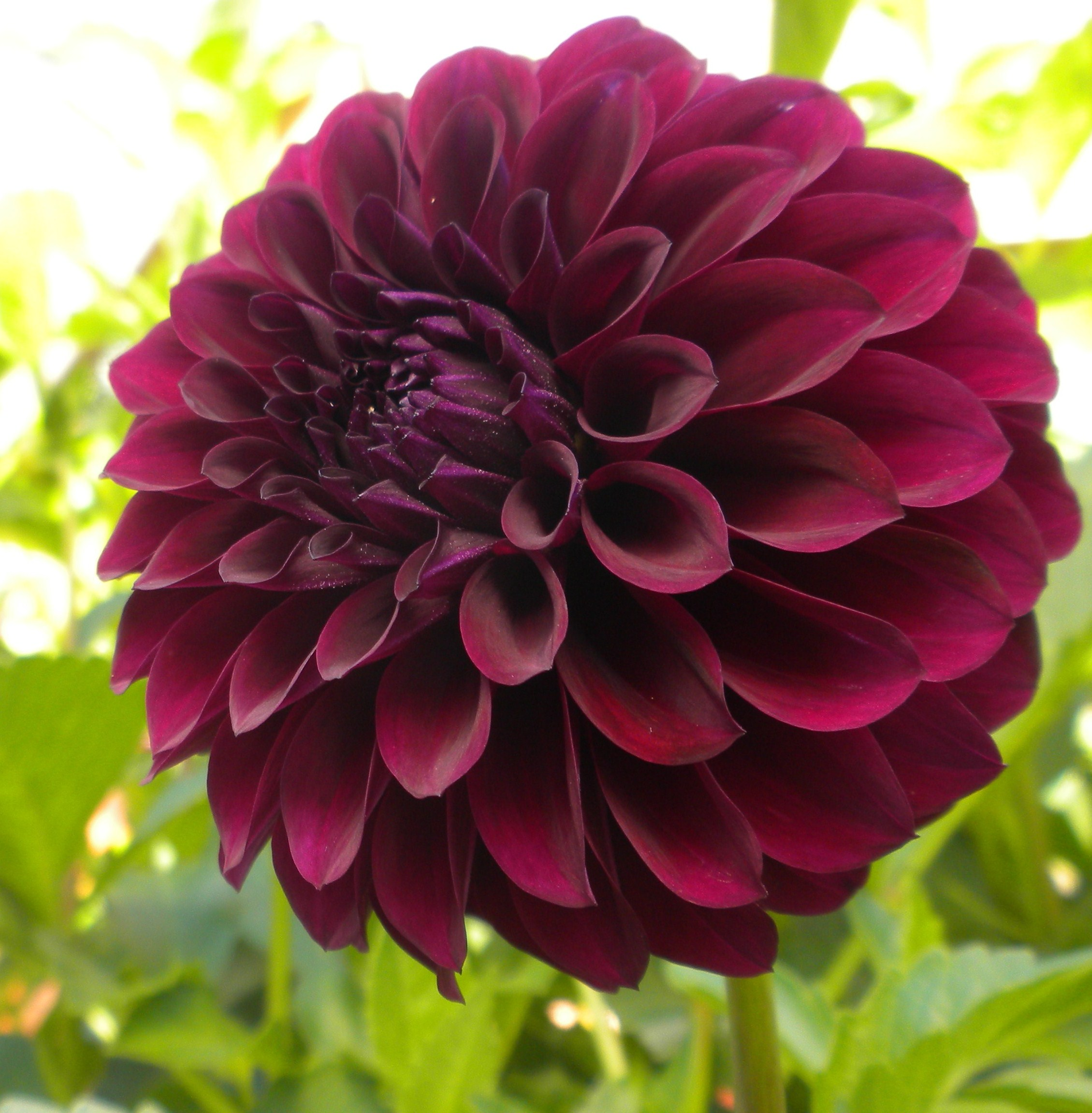 How to care for dahlia plants to produce more flowers kitchen home how to care for dahlia dahlia flower izmirmasajfo