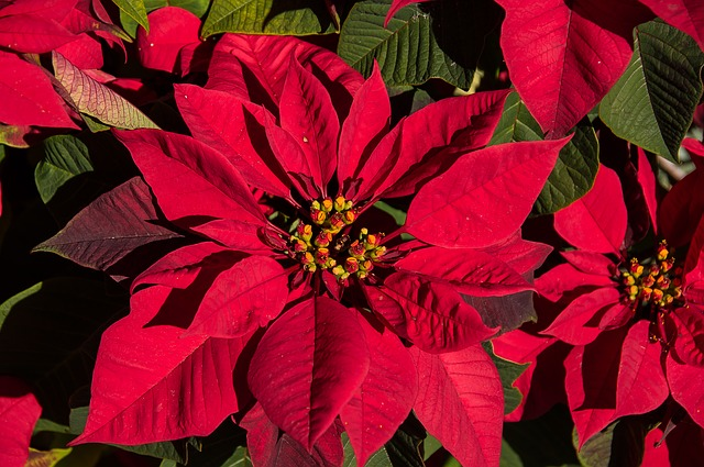 Care for Poinsettia