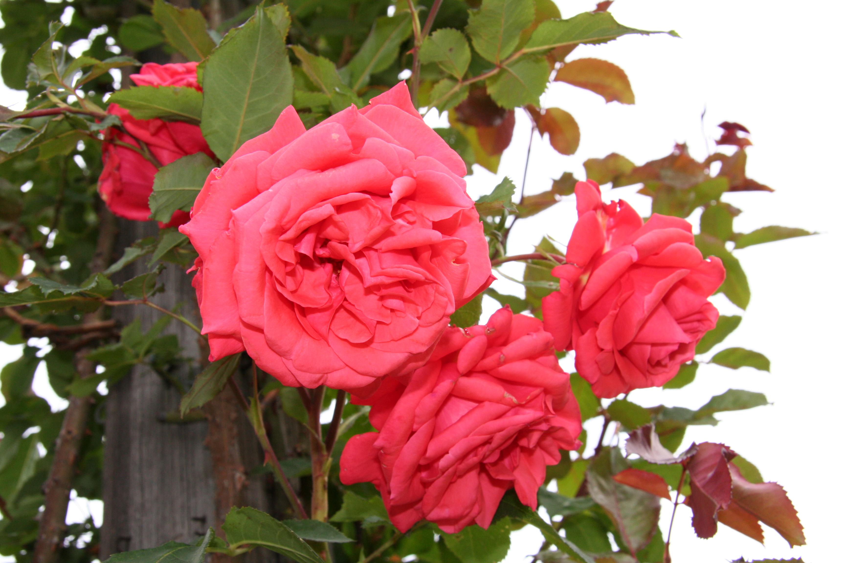 fertilizers for rose